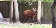 Zoo Miami Bongo