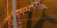 Calgary Zoo Reticulated Giraffe