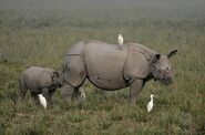 Egrets and Rhinos