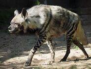 Hyena, Striped
