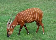 Antilope Bongo