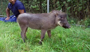 Bronyx Zoo TV Series Warthog