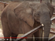 Maryland Zoo Elephant