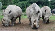 Three Southern White Rhinos