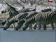 Animal Show Burchelle's Zebras