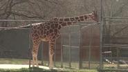 Baton Rouge Zoo Giraffe
