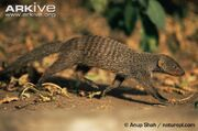 Mongoose, Banded