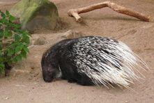 Porcupine, crested