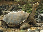 Tortoise, Galapagos