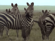 Amazing-animals-activity-center-zebra