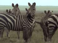 Amazing-animals-activity-center-zebra