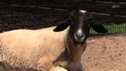 Rolling Hills Zoo Domestic Sheep