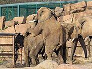 220px-Berlin Tierpark Friedrichsfelde 12-2015 img13 African elephant