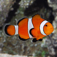 Lg80188OcellarisClownfish