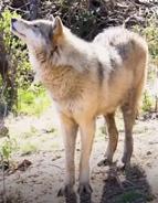 Okland Zoo Wolf