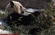 Tronto Zoo Panda
