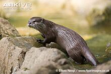 Asian-short-clawed-otter-side-view
