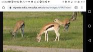 DAK Gazelles