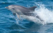 Dolphin, Common Bottlenose