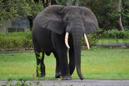 Saving the Forest Elephants