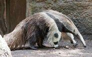 Giant-anteater-walking