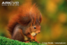 Leslie the Red Squirrel