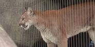 Memphis Zoo Cougar