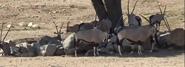 San Diego Zoo Safari Park Oryxes