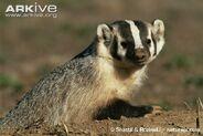 American-badger-at-sett