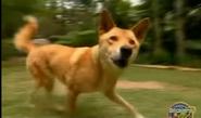 BTJG Dingo