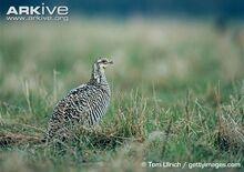 Female-greater-prairie-chicken