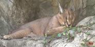 San Antonio Zoo Caracal