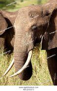 T69-2000513 Elephant