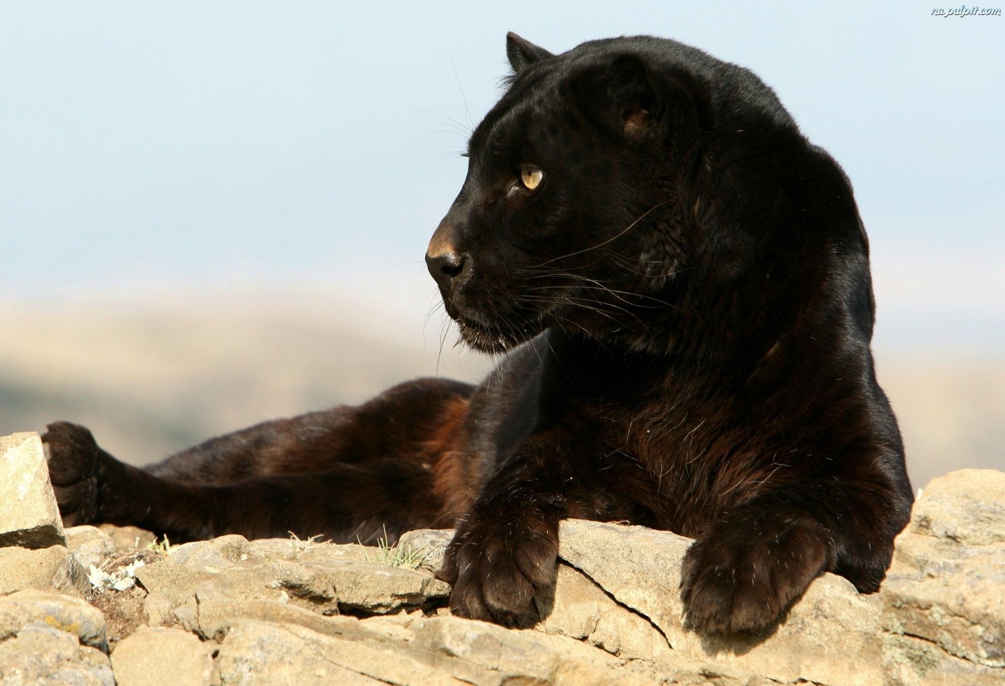 African Black Leopard | The Parody Wiki | FANDOM powered ... - photo#17