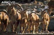 Barbary-sheep2