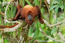 Colombian-red-howler-monkey-male-portrait