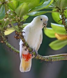 Red-vented-cockatoo-characteristics