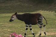 34 discover okapi