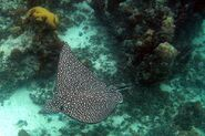 800px-Eagle Ray Turks and Caicos Dec 15 2006