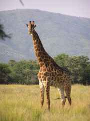 Giraffe (Animals)