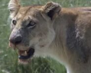Lioness at the grassland