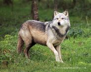Northwestern Wolf Canis lupus occidentalis 5
