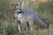 Texas-gray-fox