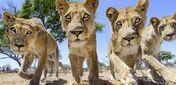 A pride of Lionesses