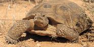Desert-tortoise dan-fillipi