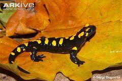 Salamander, Fire
