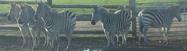 WMSP Plains Zebras