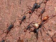 220px-Eciton burchellii army ants