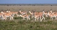 Herd of Grant's gazelles