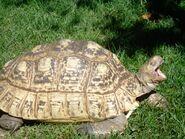 Leopard Tortoise (V2)